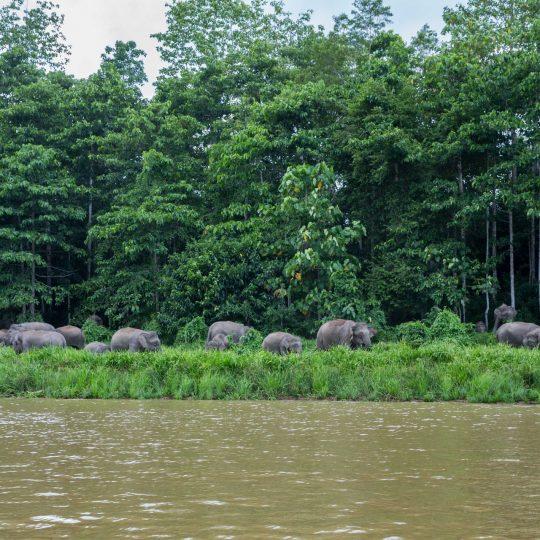 Borneodwergolifanten