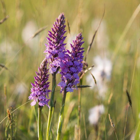 Orchidee natuurgebied De Hel
