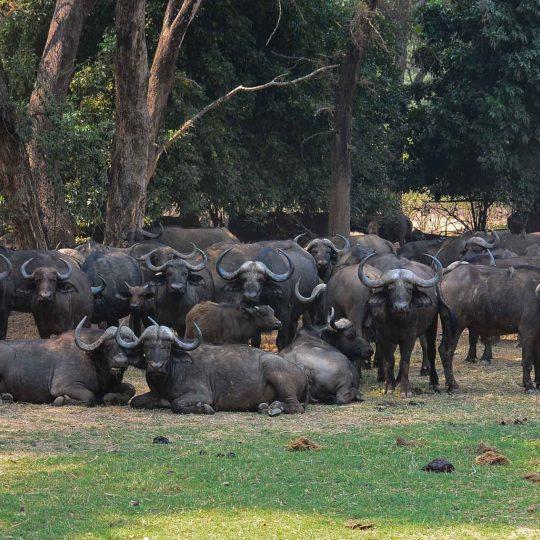 Buffels als fort