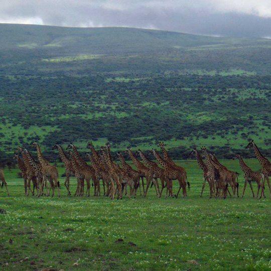 50+ Giraffen met compact camera