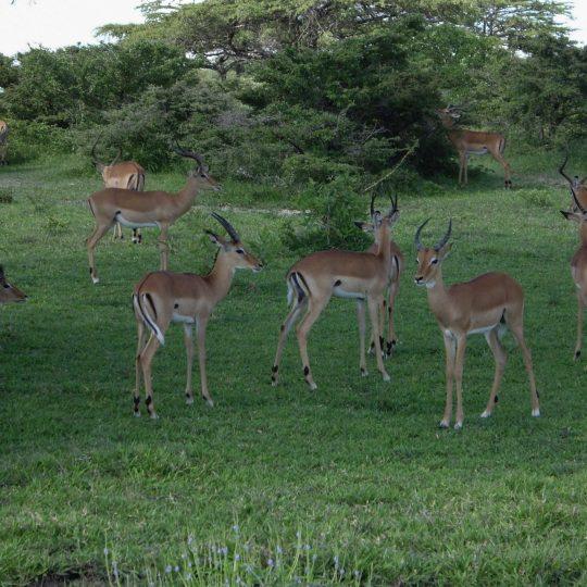 Zwevende impala's