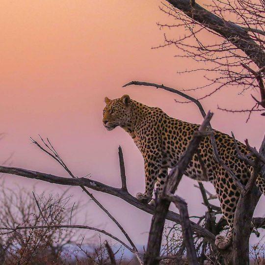 Luipaard tegen avondrood