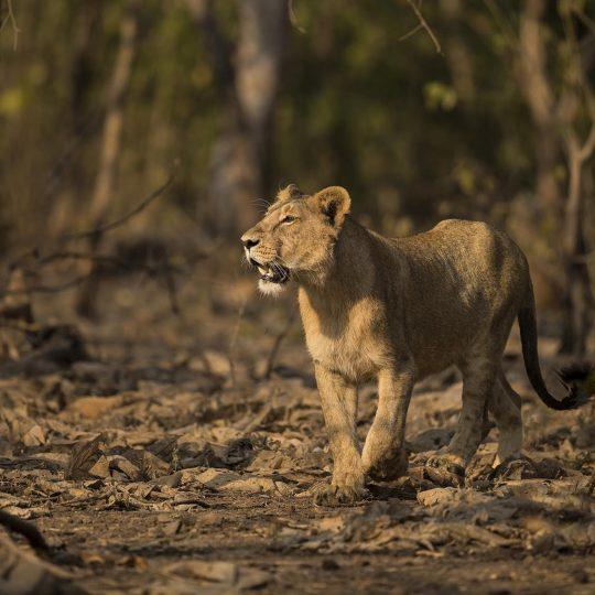 Aziatische leeuw GIR NP