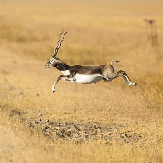 Black Buck (Indische Antilope) Velavadar India