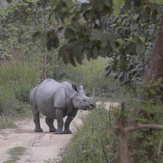 Indische neushoorn Assam India