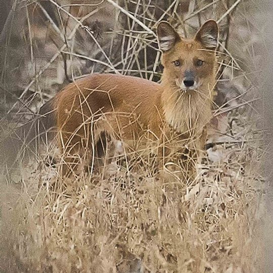 Indische wilde hond Pench NP