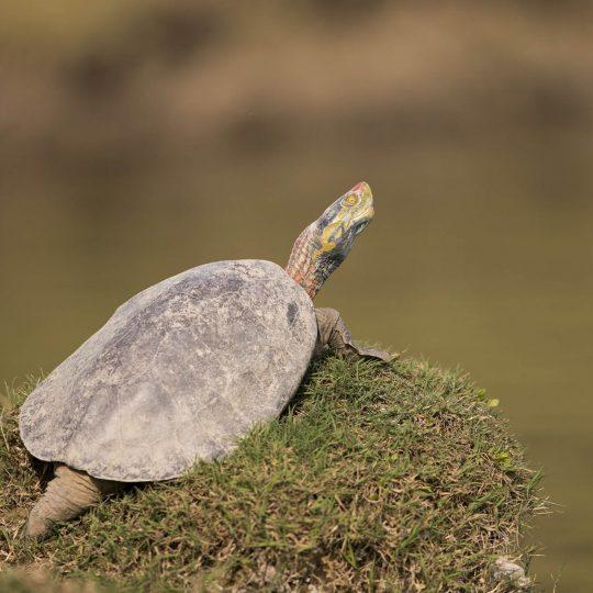 Roodkopdakschildpad Chambal India
