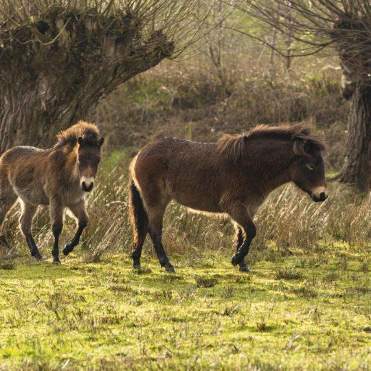 Exmoor pony's Ecozone De Klomp