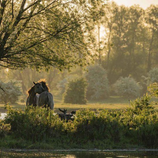 's Morgens heel vroeg in de uiterwaarden van de Rijn