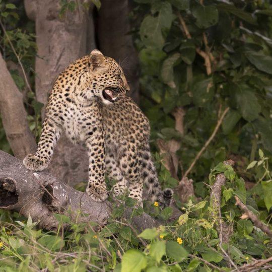 Luipaardje van 7 maanden Botswana