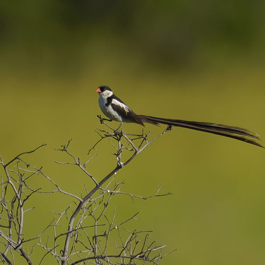 Pin Tailed Whydah (legt eitjes in andere vogel haar nest)