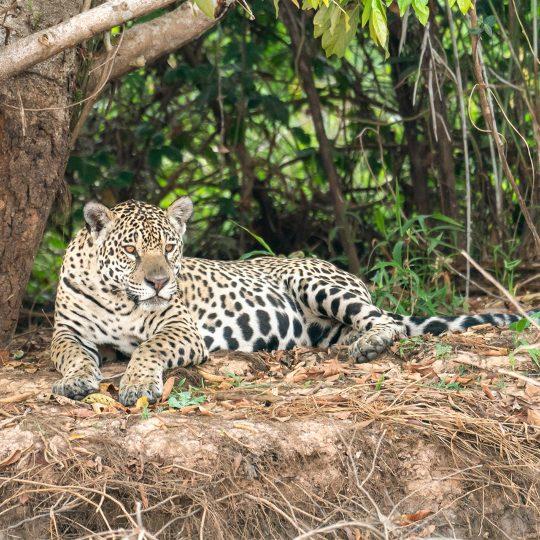 Jaguar in de Pantanal Brazilië
