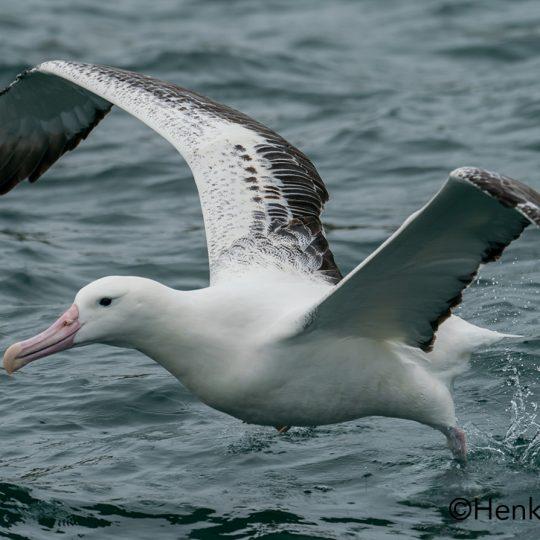 Albatros Nieuw Zeeland