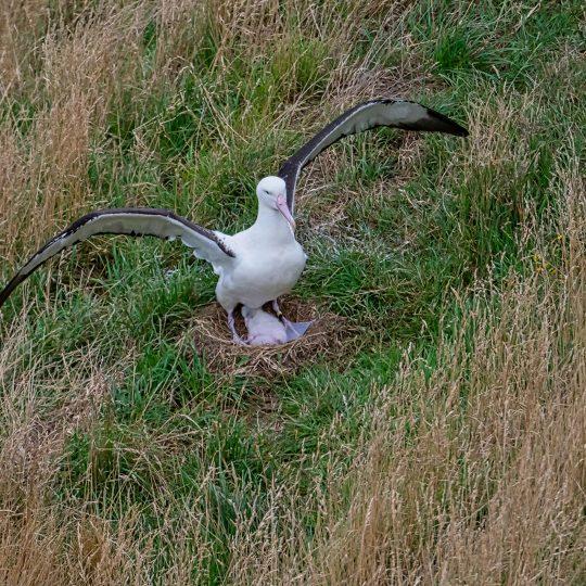 Albatros met jong