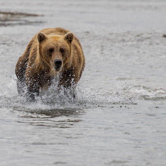 Grizzlybeer op visvangst