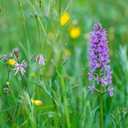 Orchidee in Bruuk